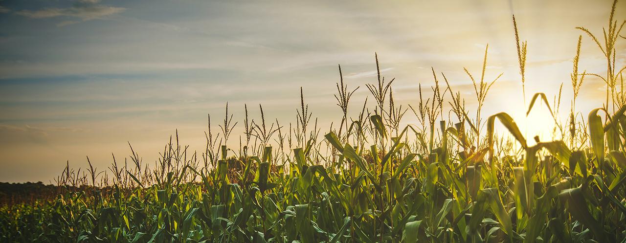 Commodity Futures Trading - Corn Field